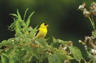 Am Goldfinch JRC 1
